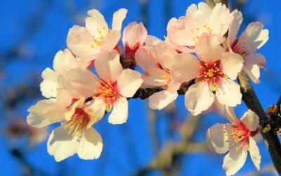 Los almendros en flor: preámbulo de la primavera